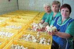 Бройлеры цыплята суточные/привитые/высшего качества(инкубатор)