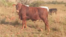 Wanted farm for grazing for cattle