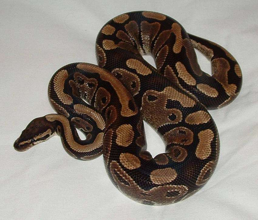 ball python for sale 0