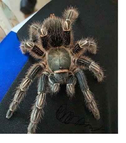 Aphonopelma seemanni малыши пауков птицеедов для новичков Одесса - изображение 2