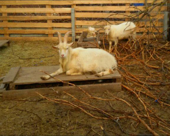 Продажа или обмен племенной зааненский козел от 5,5 л козы