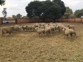 Dohne Merino sheep for sale
