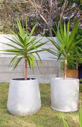 Large 2m Yucca in a big Silver pot