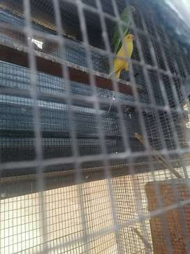 Male Indian Ringneck for sale