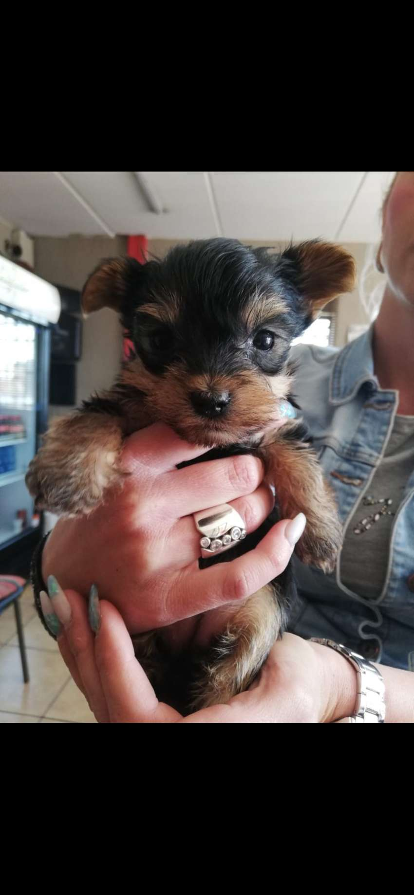 Purebred Yorkshire Terrier Puppies 0