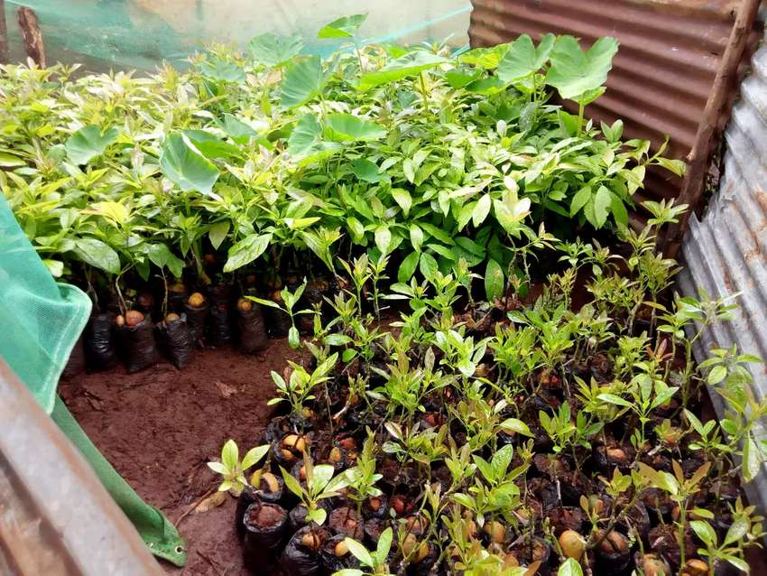 Grafted hass avocado seedlings. 0