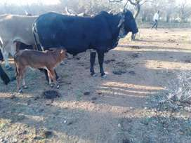 Female cow with calf