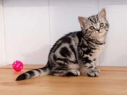 Тэбби котята из Киевского питомника