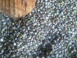 Konopie nasiona eko /siemie konopne/CBD-wysyłka od 5kg, suplementy ,
