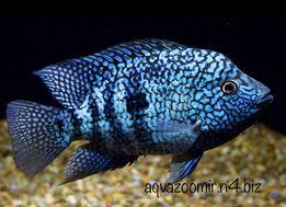 Бриллиантовая Цихлазома Herichthys Аквариумные Рыбки