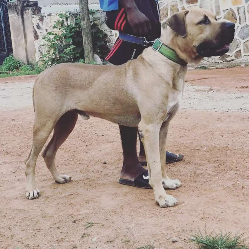 Male boerboel available for stud service 0