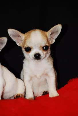 Registered Chihuahua Puppies for sale.
