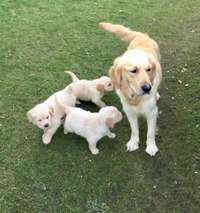 Image of Gorgeous Golden Retriever Puppies for Sale