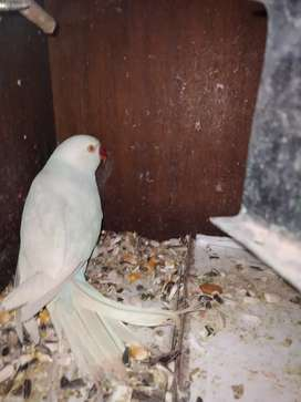 Baba Ringneck available