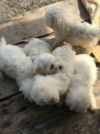 Image of MALTESE PUPPIES 1 MONTH OLD