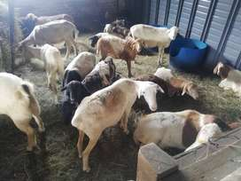 Sheep and goats for sale from R1000