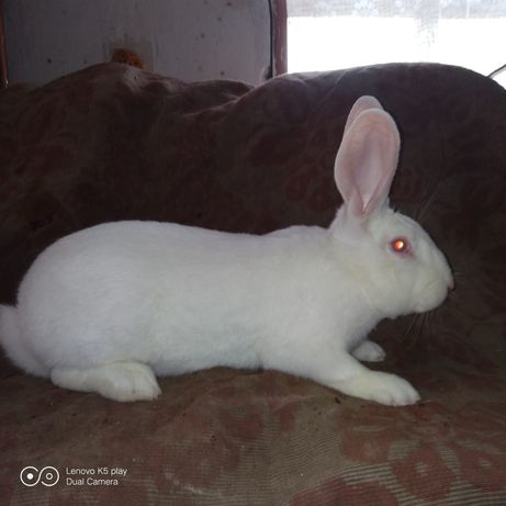 Кролі Термондська біла.скороспілої породи.