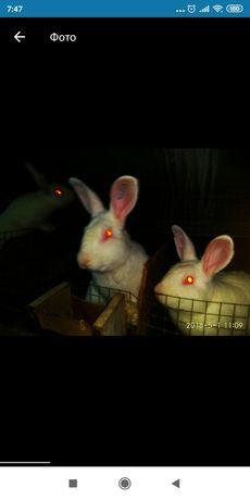 Кролики HYLA