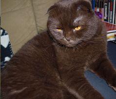 Шоколадный вислоухий кот (скоттиш фолд) приглашает на свидание