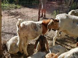 Boer goat package