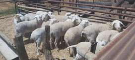 Sheep for sale..