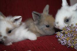 Донецкие мини кролики в продаже