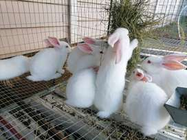 New Zealand White Rabbits and Californian Rabbits for Sale