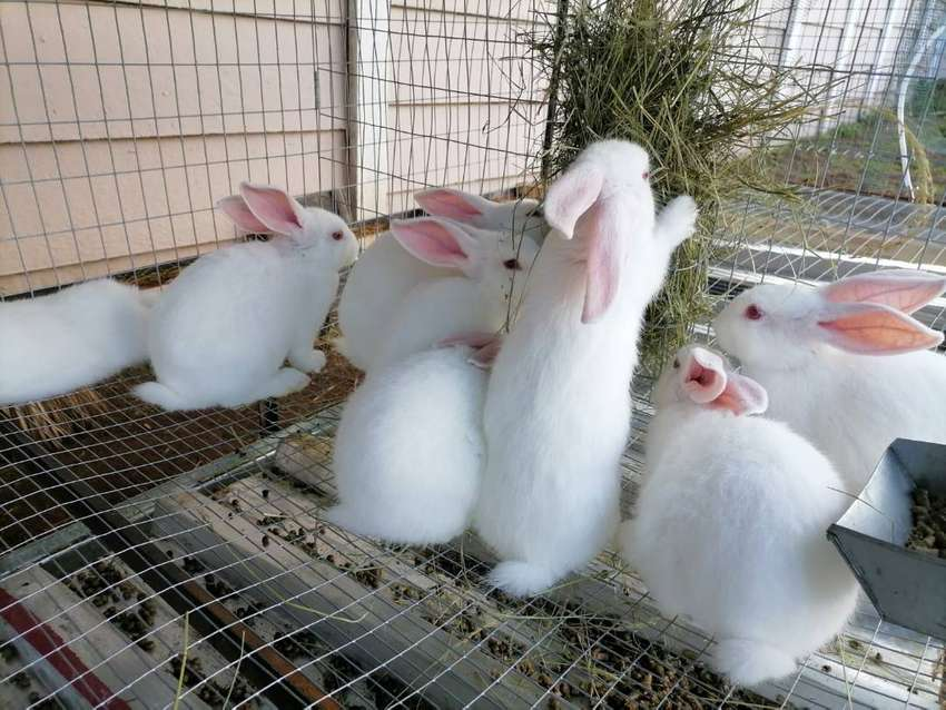 New Zealand White Rabbits for Sale 0