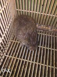 Male Grasscutter (cane rat) 0
