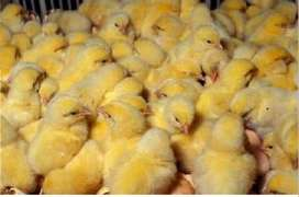Day Old Chicks- Broilers & Layers