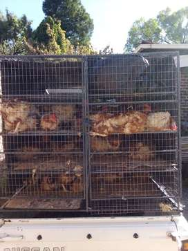 Live offlayer chickens for sale