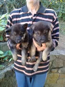 GERMAN SHEPHERDS PUPS ONE PUP LEFT,LARGE LINE,MALES .INOCULATED DEWORM