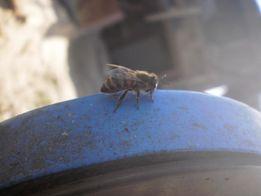 Пчёлы, рои, отводки