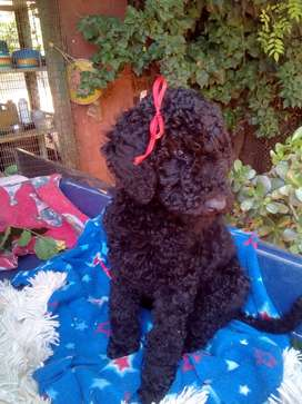 Standard French poodles puppies