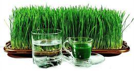 Продам Витграсc замороженный сок с ростков пшеницы.