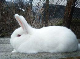 Кролики НЗБ , молодняк : самки и самец от европейских родителей