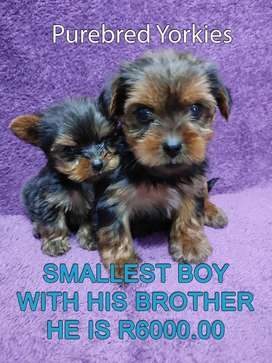 Smallest Registered size Yorkie Boy
