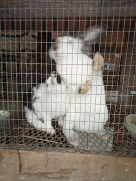 Rabbits and rabbits meat for sale