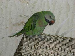 Розовогрудые кольчатые попугаи ПТЕНЦЫ в наличии НЕ ДОРОГО!!!