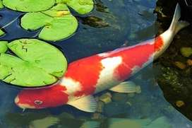 Koi fish in need of rescuing!