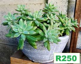 Stunning choice of potted plants for sale . Pg 5. Bloubergsands