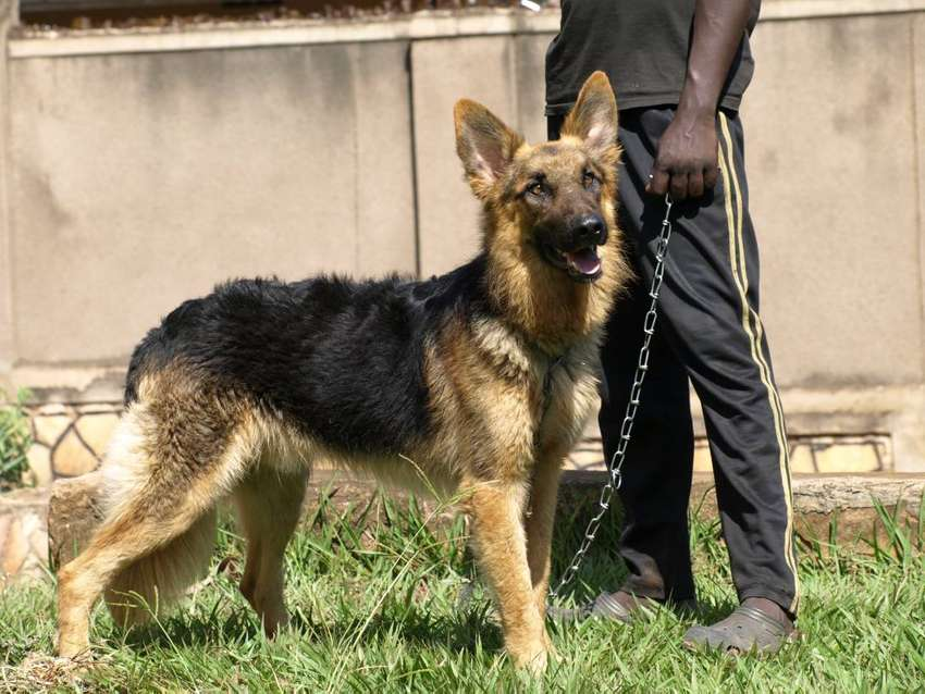 male German shepherd 0