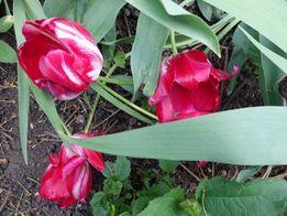 Луковицы многолетников для сада: тюльпаны ранние/поздние 5 грн./шт.