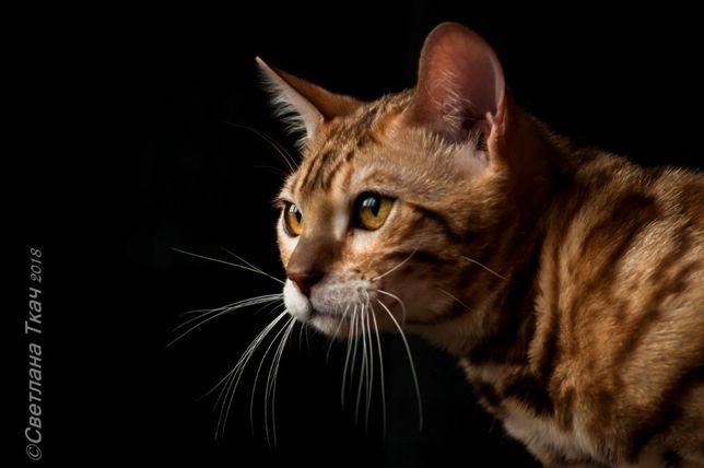 настоящий король, бенгальский кот Киев - изображение 1