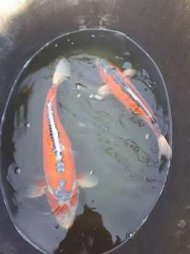 2500 imported koi available