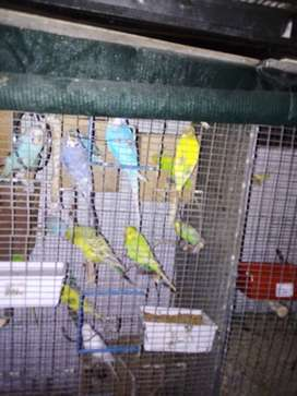 Show Budgies 200 each
