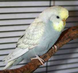 Hand reared budgie with cage