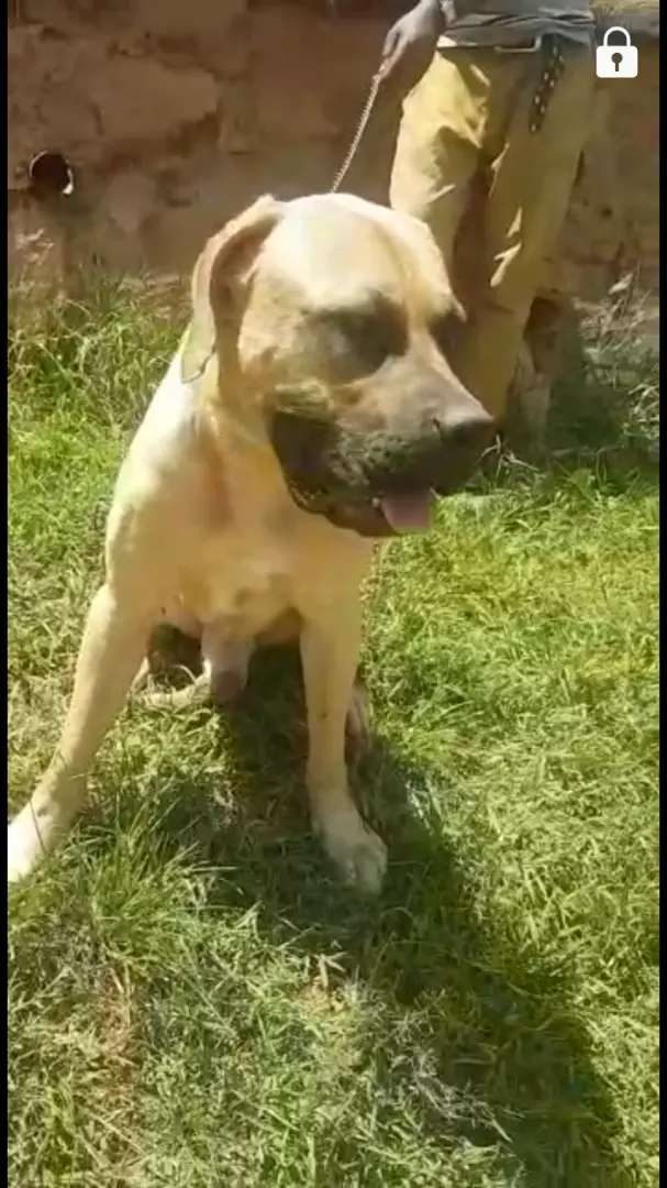 South African boerbeol male available 0