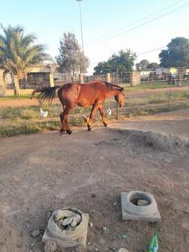 Am selling a Boerped horse