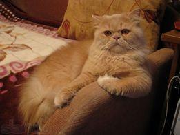 Молодой классический персидский кот ждет невесту